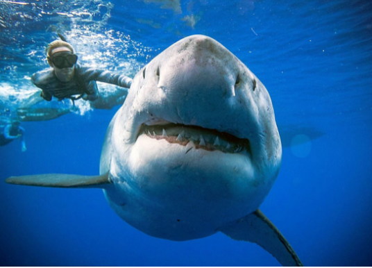 Divers Swim With Enormous Great White Shark, Perhaps Largest Ever (and Pregnant). Off Hawaii