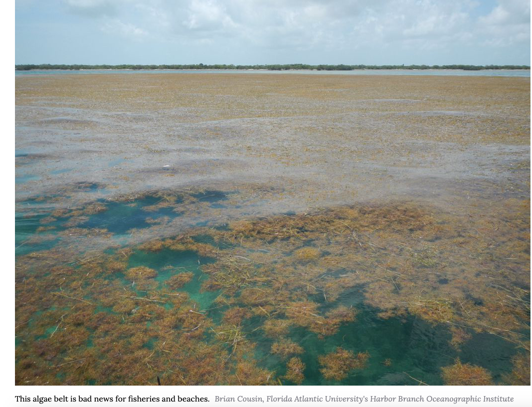 Largest-Ever Patch of Seaweed Bloom Stretches 5,500 Miles